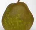 Круша Сорт Пас Красан,Pear passe crassane Tree,Снимки Круши,Круша,Разсадник Круши,фиданки Круши,овошки Круши,сортове Круши,Разсадници Круши,