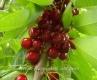 Череша сорт Бинг,Cherry Bing Trees,Снимки Череши,Череша,Разсадник Череши,фиданки Череши,овошки Череши,сортове Череши,Разсадници Череши,