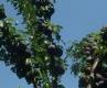 Слива сорт Черен Диамант,Plum Black Diamond Trees,Снимки Сливи,Слива,Разсадник Сливи,фиданки Сливи,овошки Сливи,сортове Сливи,Разсадници Сливи,
