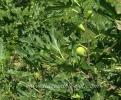Смокини Овощен Разсадник Елит,fig,Смокини,Снимки Смокия,Разсадник Смокини,фиданки Смокини,овошки Смокини,сортове Смокини,Разсадници Смокини,