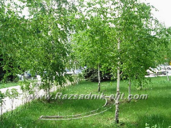 липа дърво цена Разсад Фиданки и Дръвчета бреза Отглеждане бреза дърво цена  липа дърво цена