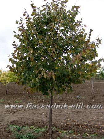 липа дърво цена Разсад Фиданки и Дръвчета Липа Отглеждане липа дърво цена  липа дърво цена