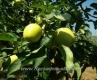 Ябълка Сорт Белголден