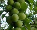 Слива сорт Т Сун,Plum T C Sun Trees,Снимки Сливи,Слива,Разсадник Сливи,фиданки Сливи,овошки Сливи,сортове Сливи,Разсадници Сливи,