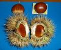 Кестени Овощен Разсадник Елит,chestnuts,Кестени,Кестен,Разсадник Кестени,фиданки Кестени,овошки Кестени,сортове Кестени,Разсадници Кестени,