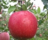 Ябълка Сорт Фуджи,Apple Fuji,Снимки Ябълки,Ябълка,Разсадник Ябълки,фиданки Ябълки,овошки Ябълки,сортове Ябълки,Разсадници Ябълки,